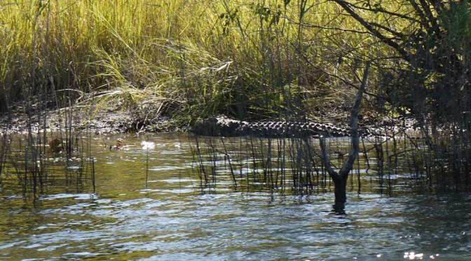 Crocodile Takeri river bank
