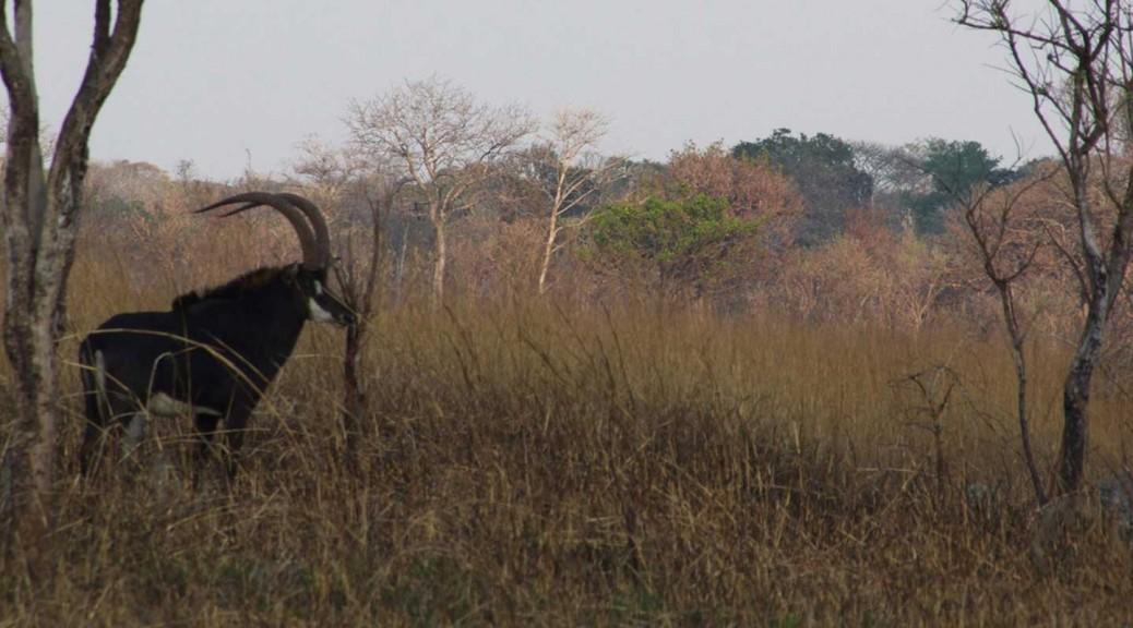 Sable Bull at Takeri reserve in Zambia