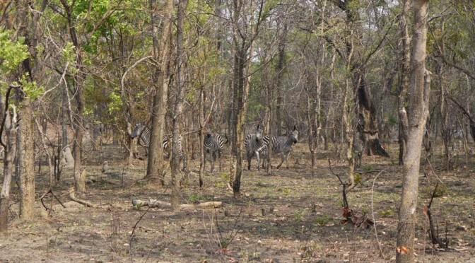 Zebra at Takeri