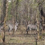 Zebra at Takeri reserve in Zambia